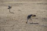 Africa, uccello, safari, Tanzania, Serengeti, savana, steppa