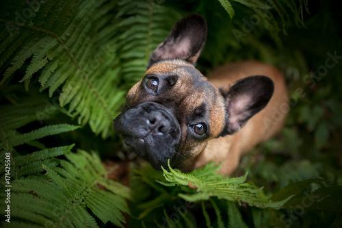 Spoed canvasdoek 2cm dik Franse bulldog Französische Bulldogge