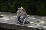 scimmia che allatta il figlio - 171425921