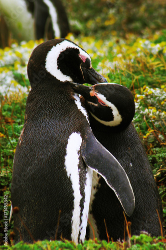 Fotobehang Pinguin Penguin, Falkland Island