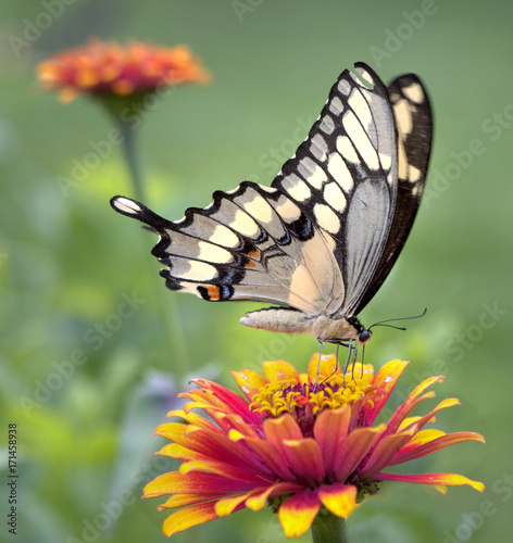 Aluminium Vlinder Butterfly on Flower