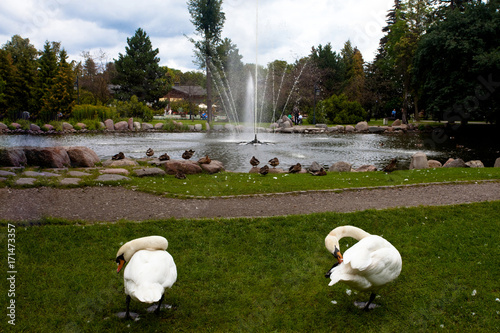 Fotobehang Zwaan Łabędzie i kaczki - atrakcja turystyczna w Parku Zdrojowym, Ciechocinek, Polska