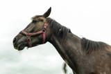 graceful black horse in the field - 171475784