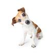 Leinwanddruck Bild - Adorable curious dog sitting on white background. Pet theme. Funny pup
