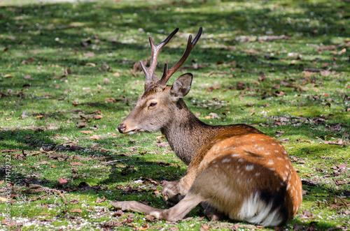 Sika Deer (Cervus nippon)  at Miyajima (Itsukushima) island плакат