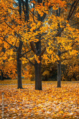 Tuinposter Herfst Autunm tree in the park, perfect fall scenery