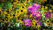 Pink cosmos surrounded by a bed of black-eyed susan - 171482316