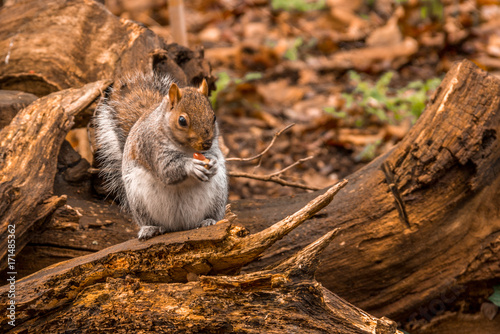Papiers peints Automne A grey squirrel sits on a fallen tree branch and eats a nut in an autumn / fall scene in Greenwich Park, London, England, United Kingdom