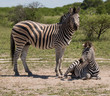 Zebra and baby on ground