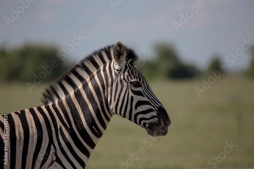 Zebra Profile single zebra