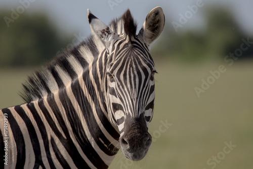 Zebra Shoulders to head Poster