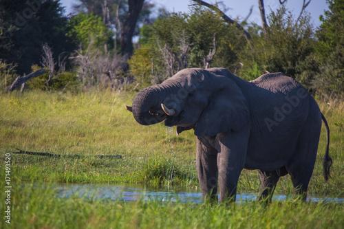 Male Bull Elephant in field drinking water Canvas Print