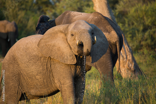 Wall mural Male Bull Elephant looking at camera sunset Africa