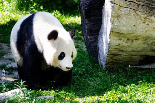 Staande foto Wenen A giant panda (ailuropoda, malanoleuca) walking in the grass