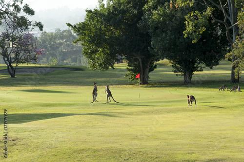 Aluminium Kangoeroe Two young kangaroos boxing on a golf course.