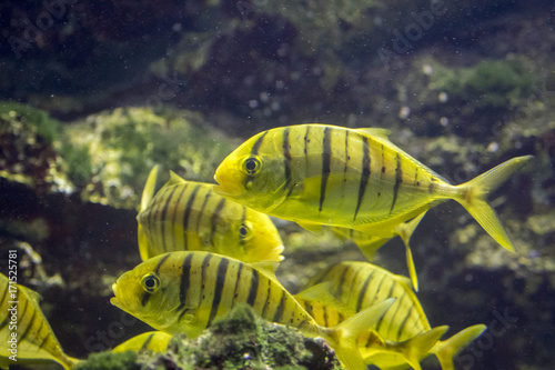 Image of fish herd. (golden toothless trevally) Poster