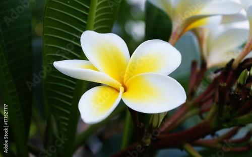 Fotobehang Plumeria flower
