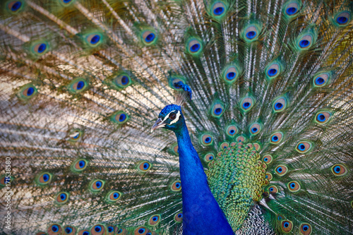 Fotobehang Pauw Peacock with colorful spread feathers. Animal background.
