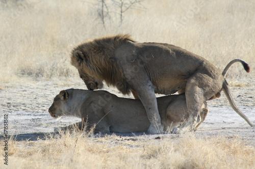 Fotobehang Lion namibie