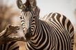Zebras, Chobe National Park, Botswana