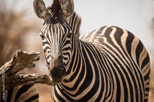 Fototapeta Zebras, Chobe National Park, Botswana