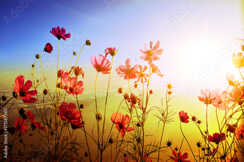 Blurred beautiful cosmos with sunlight nature background - 171587360