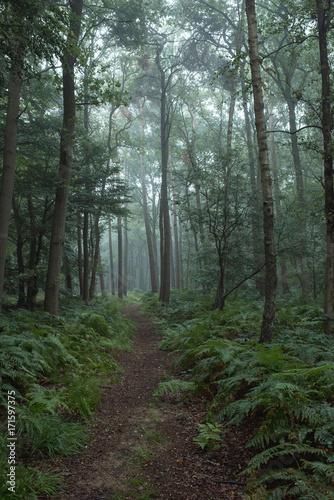 Pathway through ferns in misty forest.