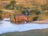flusspferd Hippo - 171600509
