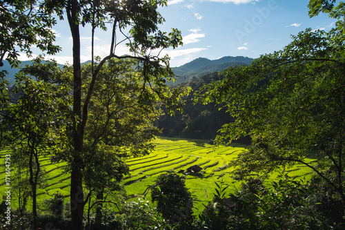Fotobehang Rijstvelden Rice fields in bright nature with evening light hut in the middle of the rice field