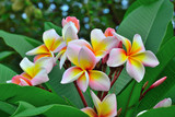 Group of plumeria on branch tree - 171607307
