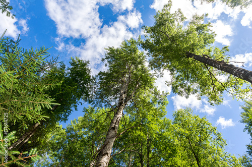 Fotobehang Berkenbos Crowns of tall birch trees above his head in the forest against a blue sky. Wild nature of the forests. Deciduous forest in summertime