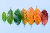 Leaves of different age of jack fruit tree on white wooden background. Ageing  and seasonal concept colorful leaves blue flat lay and copy space. - 171633351