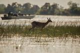 watching Impala at Okavango Delta - 171671166