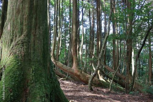 高知の自然 工石山(根曲がり杉) Poster