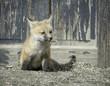 Playful Fox Kit