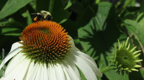 A bumblebee feeding on a flower in bloom.