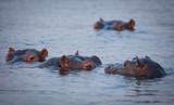 Hippopotomus in the Zambezi River Victoria Falls - 171707385