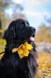 Newfoundland on autumn yellow leaves