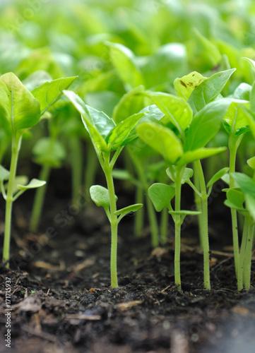 Foto op Plexiglas Gras semis de basilic en terre