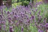 Lavendel, Lavendelmeer mit Bienen