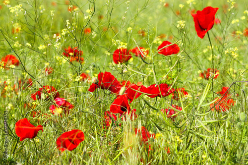 Foto op Plexiglas Klaprozen Field of red poppies and yellow canola in bright light at spring