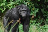 Chimp - 171749311