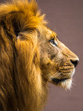 Vertical photo of a male lion head in profile