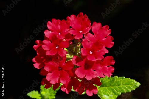 Royal Red Verbena