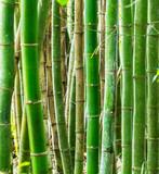 Floresta de bambu.