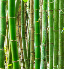 Floresta de bambu. © JCLobo