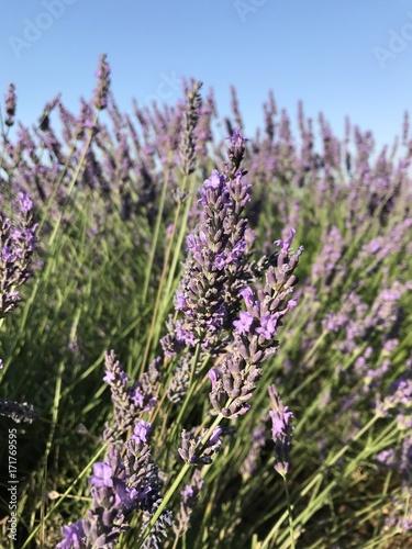 Spoed canvasdoek 2cm dik Lavendel Lavande en Provence