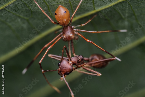 crab spider feeding on ant