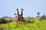 Two giraffes, Uganda