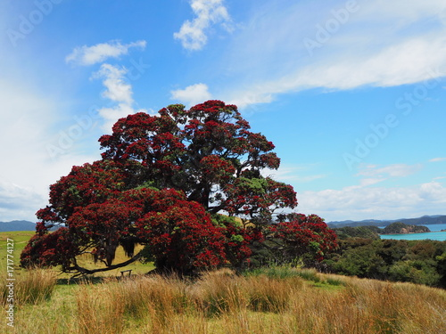 Fotobehang Blauw Pōhutukawa Baum in Bay of Islands, Neuseeland